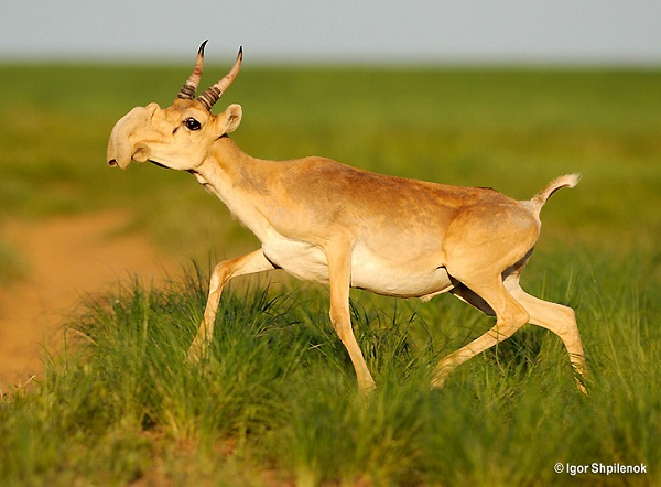 Saiga Antelope-Animals You Won't Believe Are Real