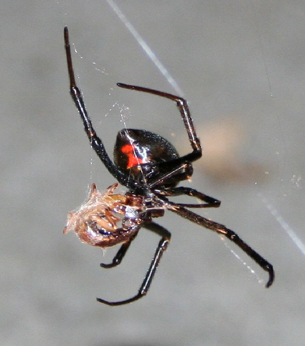 Black Widow Spider-Dangerous Spiders In The World