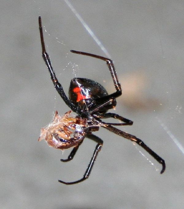 Black Widow Spider-Dangerous Spiders In The World