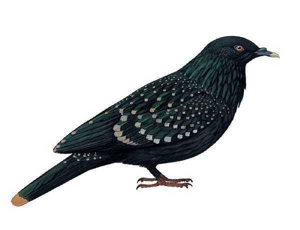 Liverpool Pigeon-Recently Extinct Animals