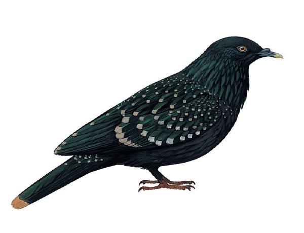 Liverpool Pigeon-Recently Extinct Animals