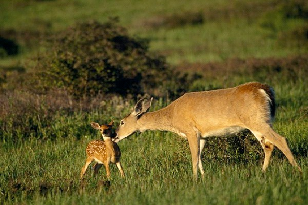 Deer - Introvert, Sensing, Feeling, Perceiving (ISFP)-Know What Animal You Are Through Personality Test