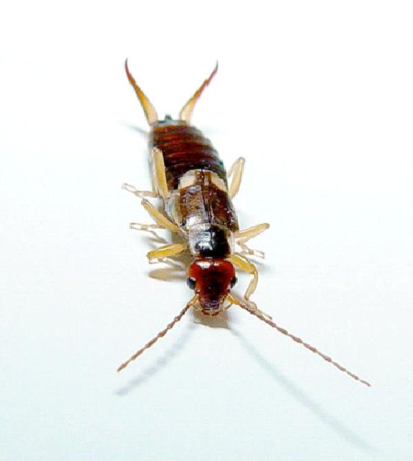 Earwig-Ugliest Bugs