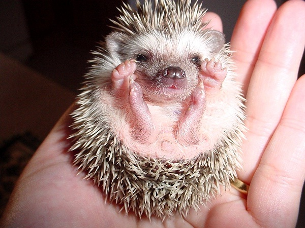 Hedgehog-Unusual Pets That Are Legal To Own