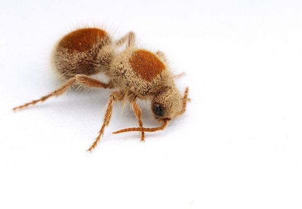 Velvet Ants-Insects Which Mimic Ants But Are Not Ants
