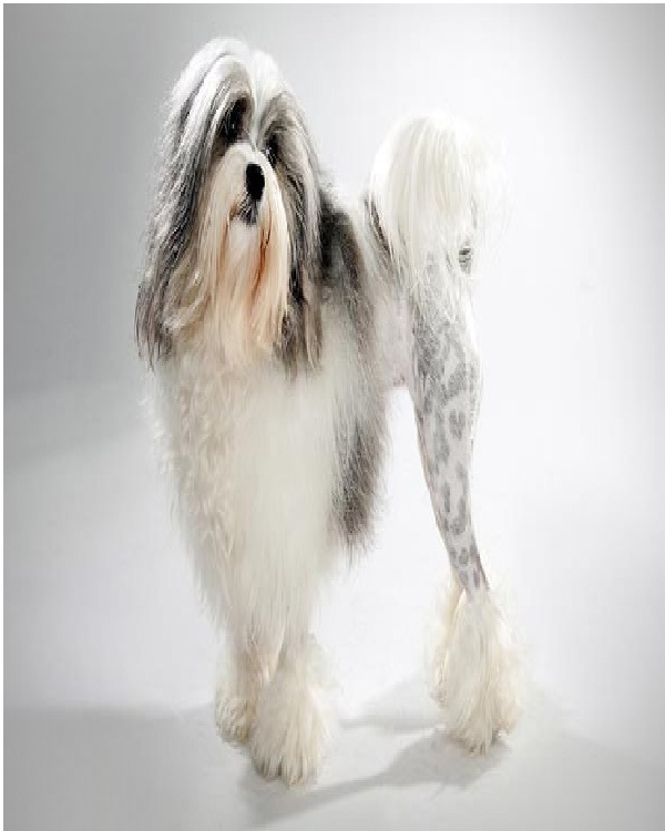 The L�wchen-Most Expensive Dogs In The World
