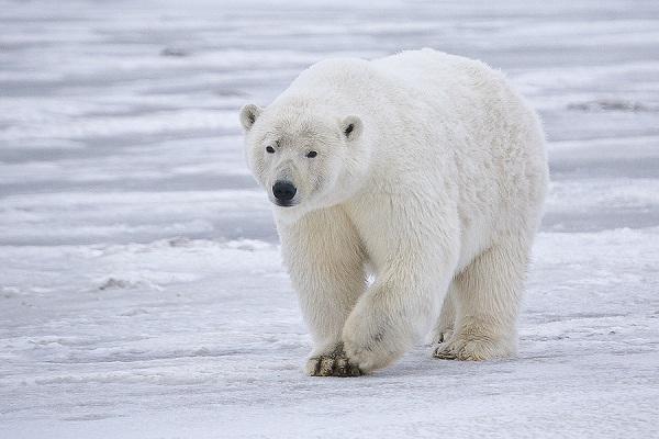 Global Warming-Polar Bear Facts