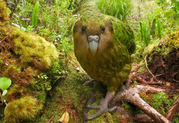 Kakapo-Birds Which Cannot Fly
