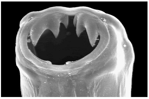 Hookworms-Crazy Science Facts You Never Knew