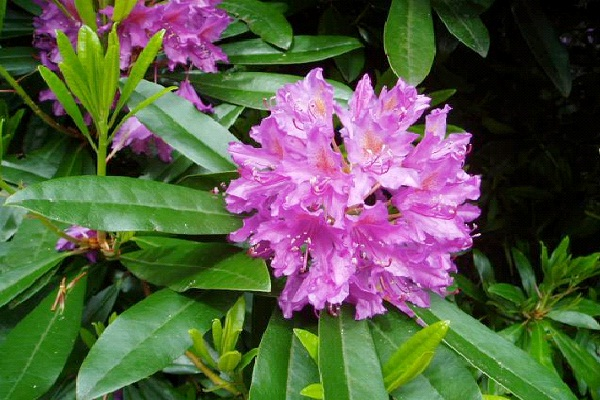 Rhododendron-Common But Deadly Plants