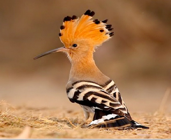 Hoopoe-Most Amazing Exotic Birds