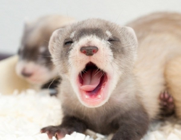 Ferret-Best Animals For Pets