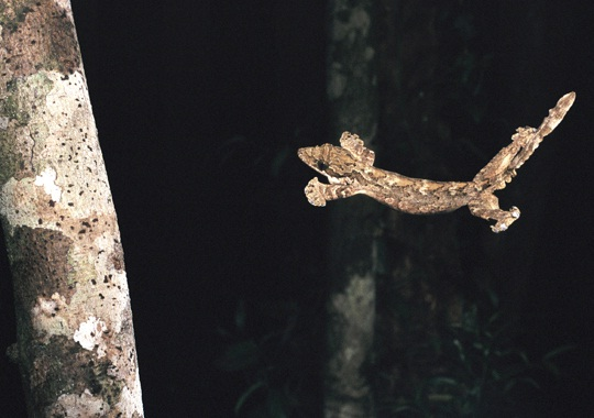 Flying Gecko-Flying Animals Which Are Not Birds