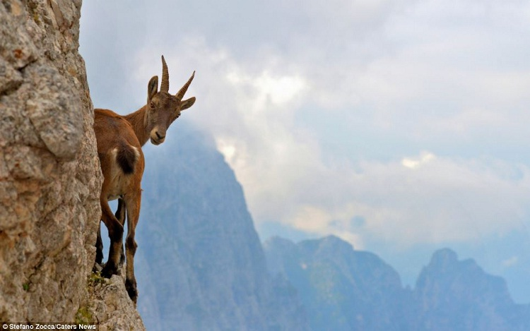 Peek-a-boo-Photos Of Goats On Cliffs