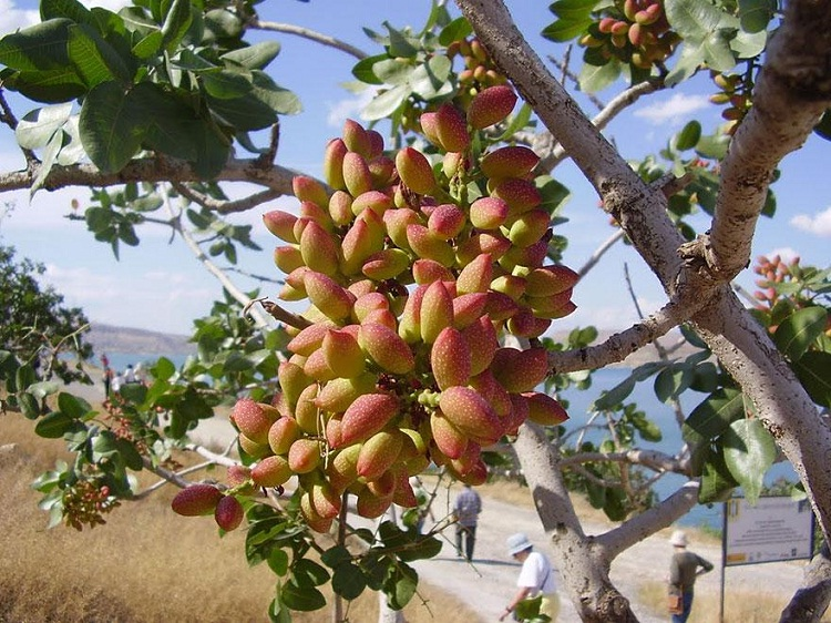 Pistachio-Some Favorite Fruits And Vegetables And How They Are Grown