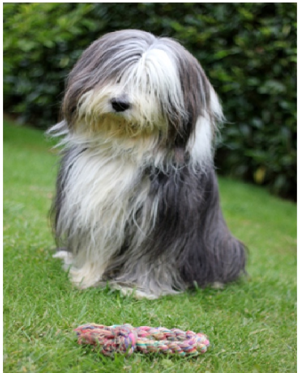 Bearded Collie-Most Expensive Dogs In The World