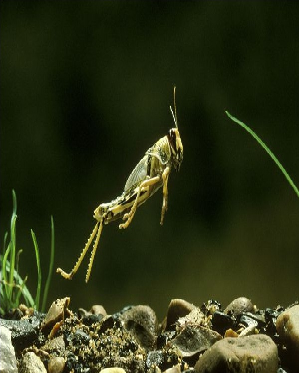Locust-Edible Insects