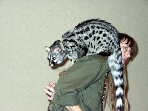Genet-Unusual Pets That Are Legal To Own