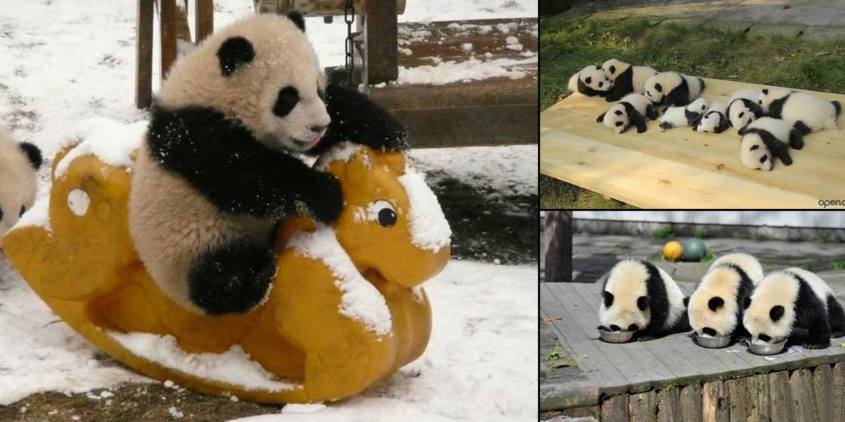 15 Images that Show, You Must Visit a Baby Panda Daycare once