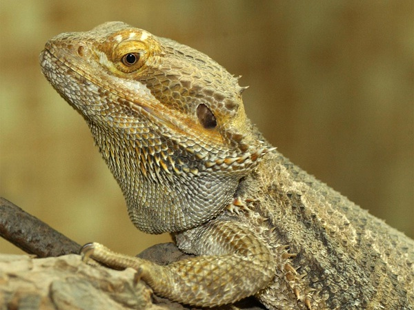 Bearded Dragon-Unusual Pets That Are Legal To Own