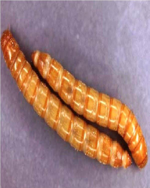 Mealworm-Edible Insects