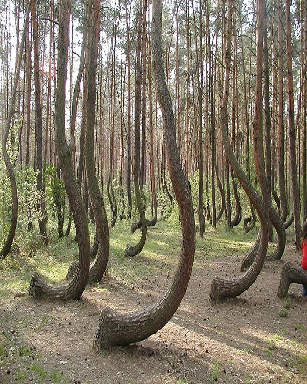 The Crooked Forest-Amazing Trees
