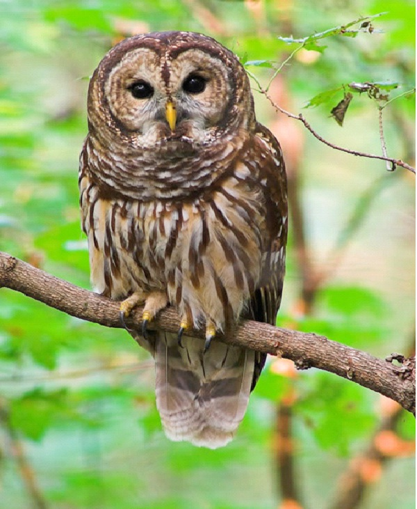 Owl - Introvert, Intuitive, Thinking, Perceiving (INTP)-Know What Animal You Are Through Personality Test