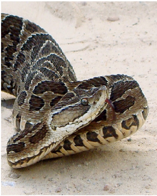 Lancehead-Most Dangerous Snakes In The World