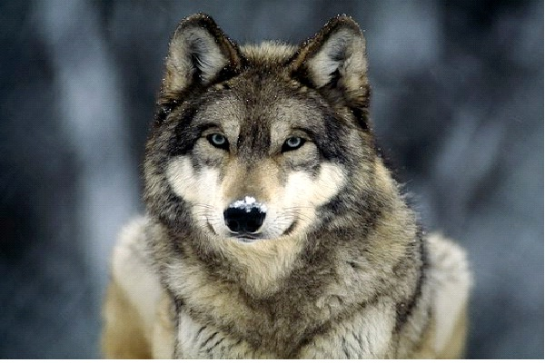 Wolf - Introvert, Intuitive, Feeling, Judging (INFJ)-Know What Animal You Are Through Personality Test