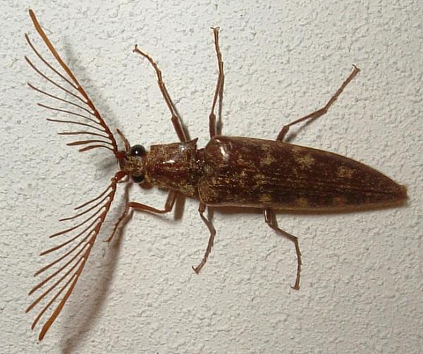 Antler-antennae Beetle-Cutest Bugs Ever