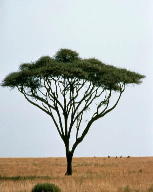 Umbrella Thorn-Amazing Trees