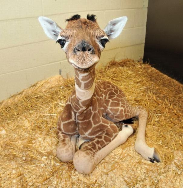 Giraffe-Adorable Baby Animals