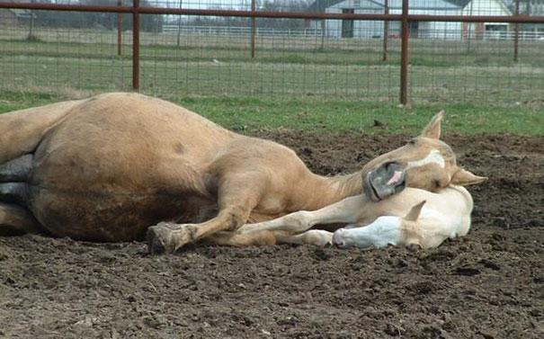 Horsing About-Amazing Pics Of Animals Pillowing Each Other