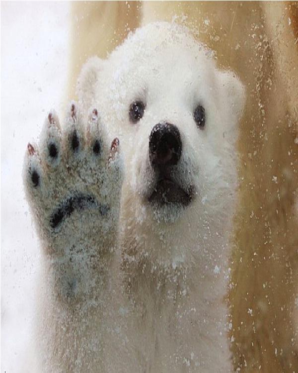 Baby Polar Bear-Cute Sea Creatures
