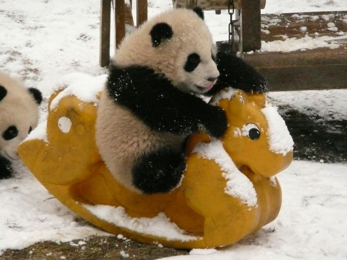Baby Panda Riding A Rocking Horse-15 Images That Show, You Must Visit A Baby Panda Daycare Once