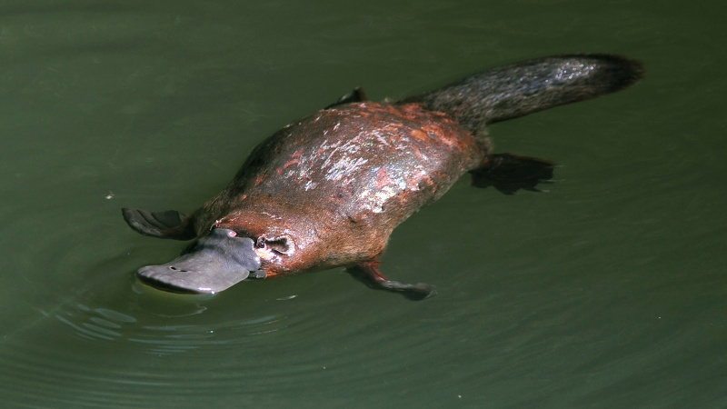 Platypus-15 Super Cool Animals That You May Find Only In Australia