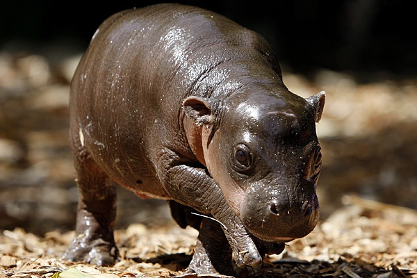 Hippo-Adorable Baby Animals