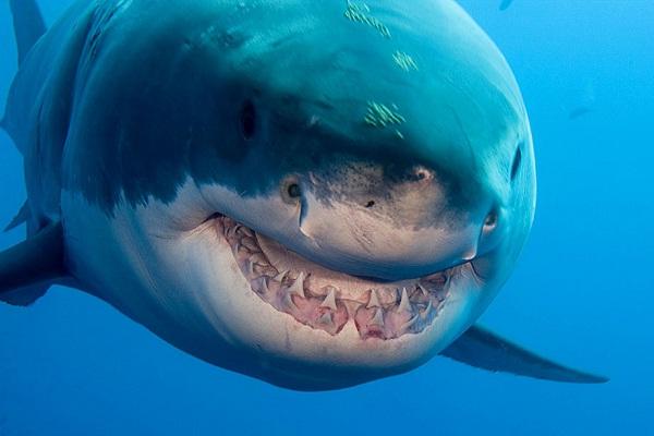 Great White shark-Most Dangerous Ocean Animals