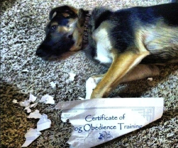 Obedience Training-Most Ironic Pictures