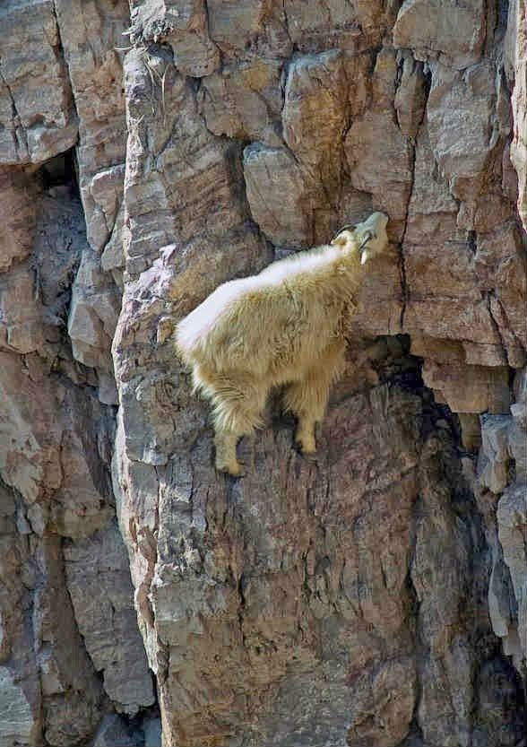 Perfectly balanced-Photos Of Goats On Cliffs
