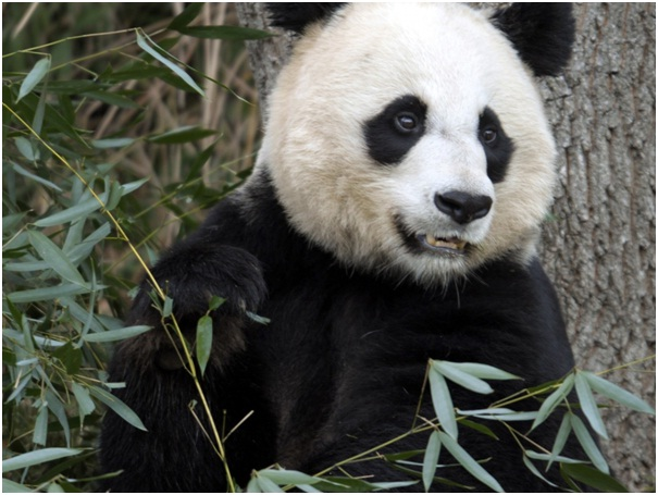Panda Life Span-Amazing Facts About Pandas