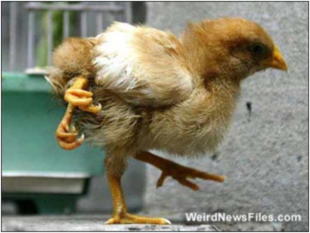 Four-Legged Chicken-Scary Deformed Animals