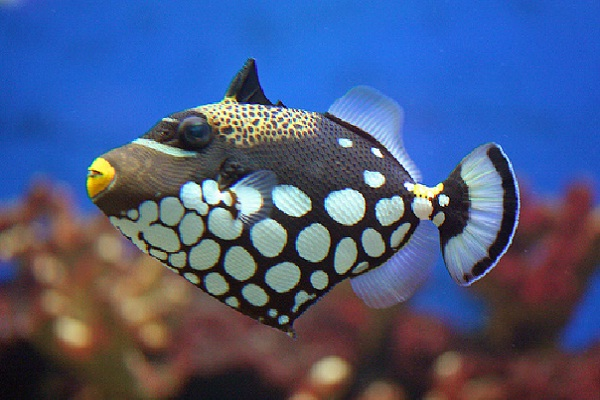 Clown Trigger-Most Beautiful Fishes