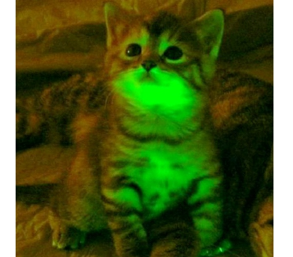 Glow In The Dark Cats-Genetically Modified Animals You Can Buy