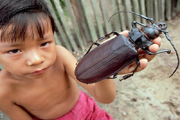 Titan Beetle-Real Giant Bugs
