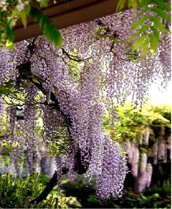 Wisteria-Common But Deadly Plants
