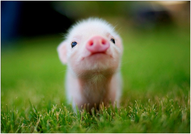 Baby Pig-Cutest Animals Ever