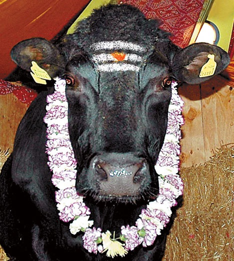 Cow-Most Sacred Animals In The World