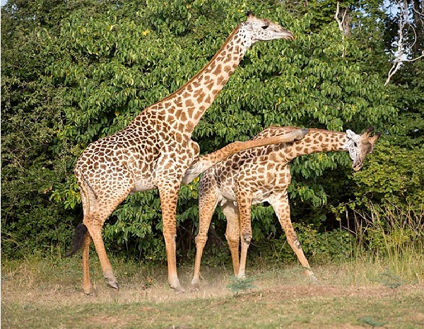 How Giraffes Mate-Freaky Scientific Discoveries