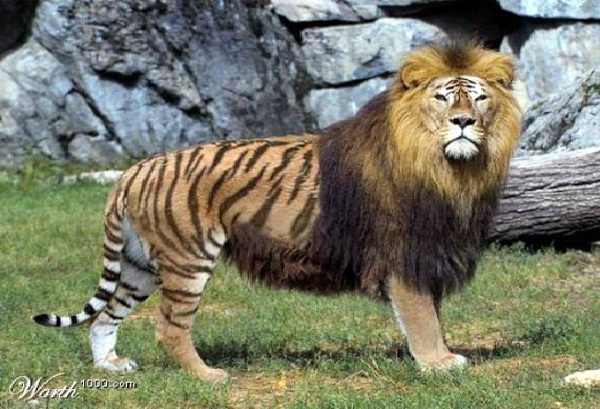 Liger-Coolest Hybrid Animals